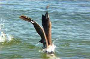 Pelican-Fishing-Movement-ScreenShot